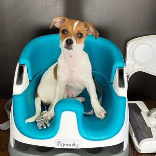 Sorry Ashton, someone else claimed your seat 😂 #dogsofinstagram #jackchi #jackchisofinstagram