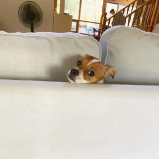 Somebody got stung by a bee. She's found her #safeplace #dogsofinstagram #jackchi #jackhuahua #cottagelife